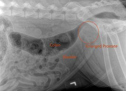 Предстательная железа у собак лечение